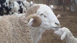 Mouton Blanc d