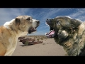 Central Asian Shepherd vs Caucasian Shepherd - Dog Videos [Mr Friend]