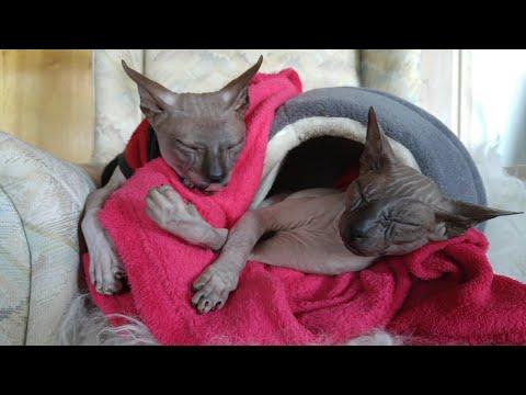 Sphynx cats Chikita&Rango nap time / DonSphynx /