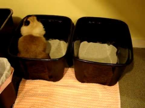 Delicieux #cat #cats #ragdollcat