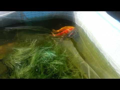 My Kio Fish Spawning
