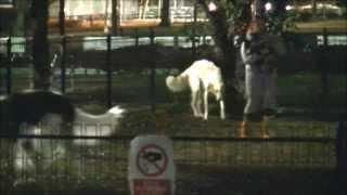 篠崎公園ドッグランにて、 ポニー並みに大きいボルゾイ(旧称ロシアン・...