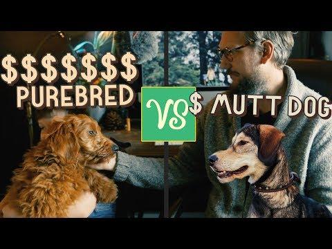 $50 MUTT Dog vs $1500 GoldenDoodle