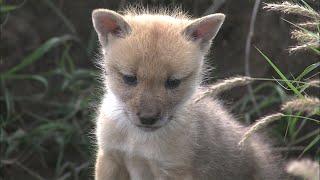 キンイロオオカミ赤ちゃん 巣穴に転げ落ちるレア瞬間