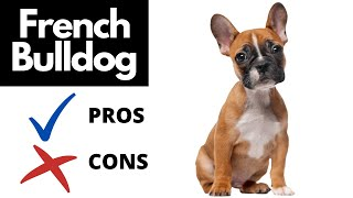 French Bulldog Pros And Cons   The Good AND The Bad!!