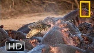 National Geographic Wild 2015 The World's Strangest Animals | Animals Attack Willdife Docu