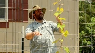 Grape Arbor Trellis Update