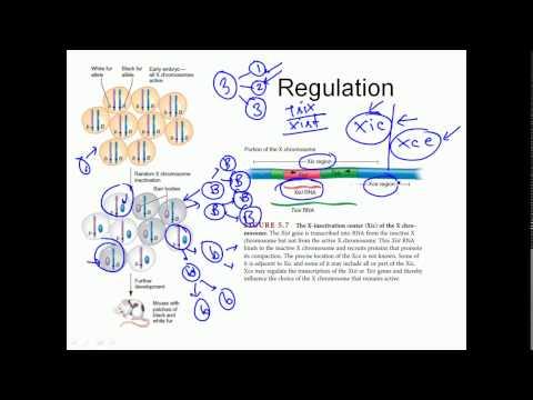 X inactivation mechanism