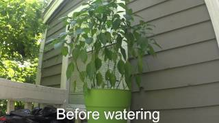 Time Lapse of Watering a Jalapeno Plant