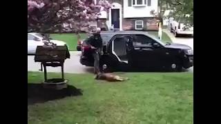 This K9 officer dog refused to go to work unless he got a belly rub 😍