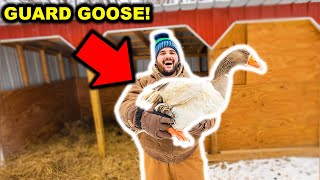 I Bought a FLOCK of ANGRY GUARD GEESE for My BACKYARD FARM!!!