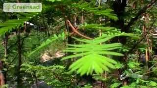 Метасеквойя и ее особенности. Условия для хорошего выращивания метасеквойи.(Матесеквоя 180-200 см в контейнере 20 л. Страна происхождения Китай. Это дерево в вашем саду будет восприниматьс..., 2014-06-17T11:15:28.000Z)