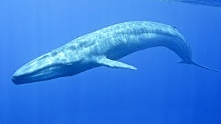 Baleine bleue : le plus grand animal du monde - ZAPPING SAUVAGE