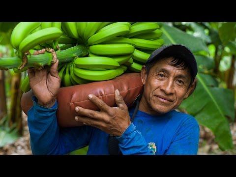 Fairtrade-Bananen aus Bio-Anbau in Peru