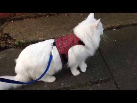 Thumbnail for Cat Video Maine Coon Cat Goes for a Walk