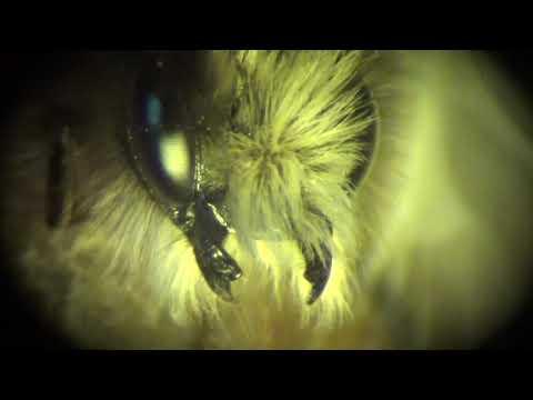 Что Это за Лохматая Дикая Пчела? Who is This Strange Hairy Bee?
