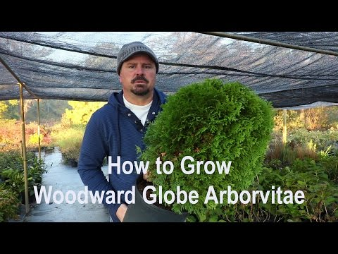 How to grow Woodward Globe Arborvitae with a detailed description