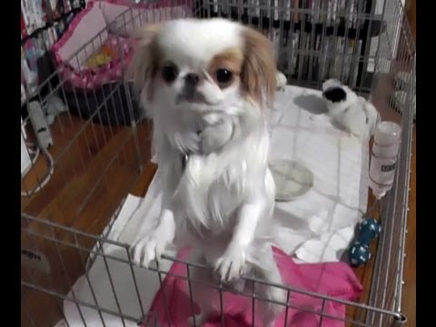 Flying Japanese Chin ZOE checking on your puppies