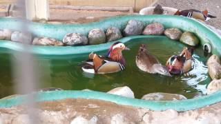 Утка-мандаринка красавица!  Beautiful duck