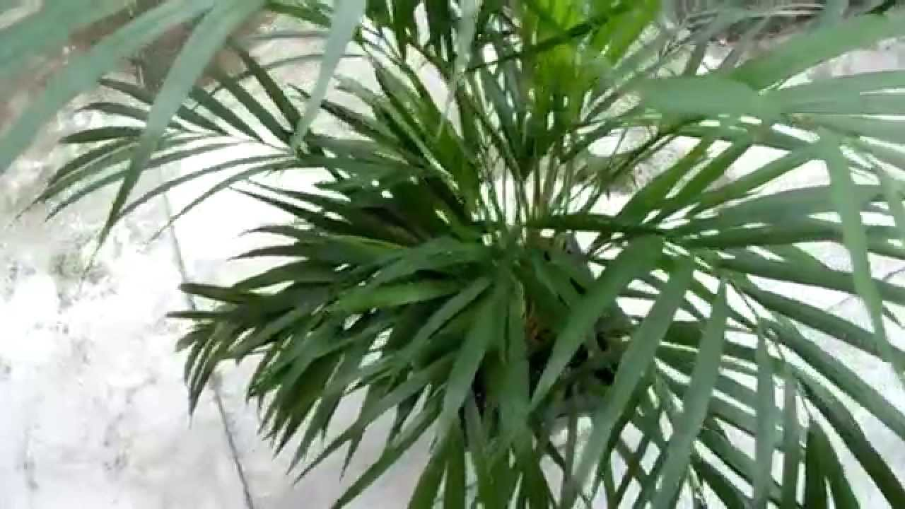 Palmeira de jardim chrysalidocarpus lutescens youtube - Tipos de plantas de exterior ...