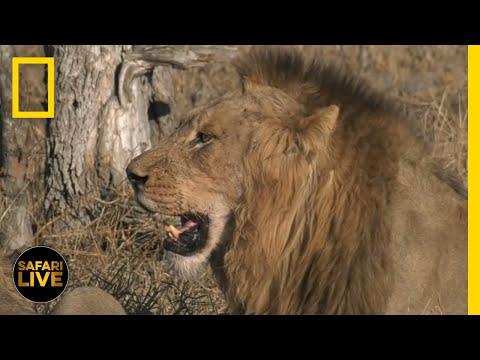 Safari Live - Day 222 | National Geographic