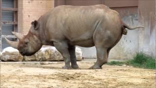 Dallas Zoo - rhinoceros, 2012