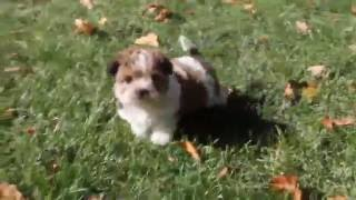 Shorkie Poo Puppy For Sale