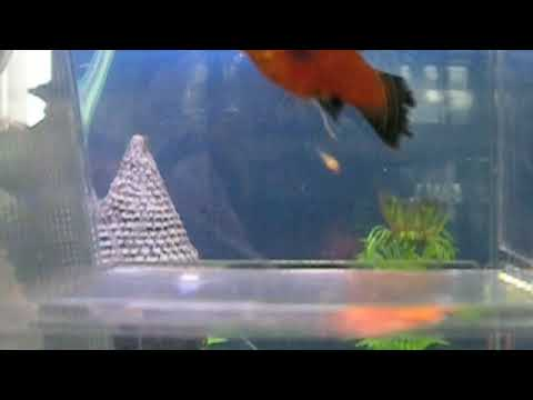 What are the signs of a pregnant platy fish?