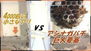 蟻戦争Ⅲ#49 キアシナガバチの巨大要塞vs4000匹のケアリ~共生か戦争か~【後編】編~Giant Beehive vs 4000 ants~