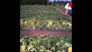 Planting water melon in Vietnam