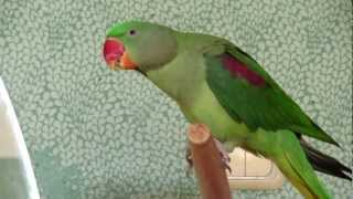 Рома!!!  Александрийский попугай