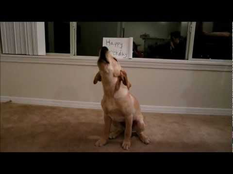 Sophie The Lab Puppy Sings Happy Birthday