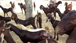 (URDU) Treat! for Goats / Bakro ki Eid at Qureshi Farm