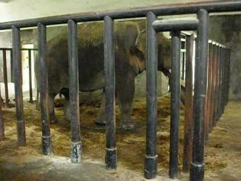 Chained Elephant in Cage at Hangzhou Zoo 2012
