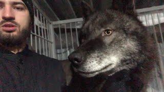 Канадский Волк сожрал шапку Коламбия, Canadian Wolf eaten Columbia hat, человек и волк ,крупный волк