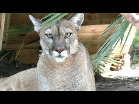 Cougars and Florida Panthers