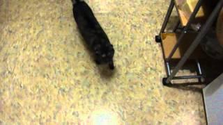 Как кошки обманывают людей