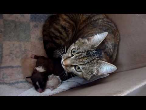They introduce a puppy to mom and her kittens, but watch the cat's reaction