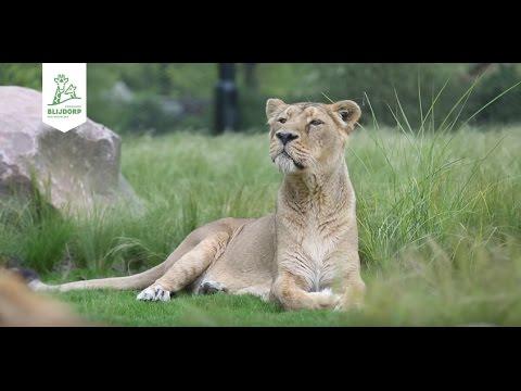 Opening nieuw leeuwenreservaat Diergaarde Blijdorp - Opening new lion enclosure Rotterdam Zoo