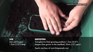 Growing Spring Cabbage - How to sow