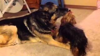 Best Buds German Shepard And Yorkshire Terrier