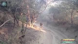 [Best Animal Fights]  Top 5 Close Calls in a Wildlife Safari!