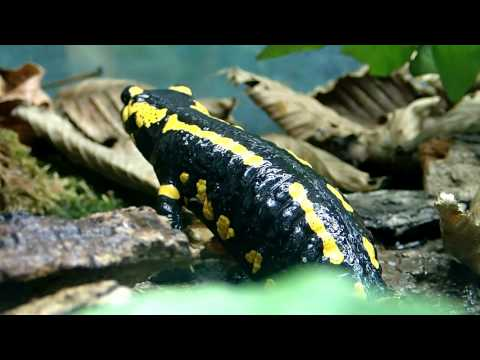 Exclusive Salamander Scenes: JHC Summer Contest Entry 2015  ||  Feuersalamander
