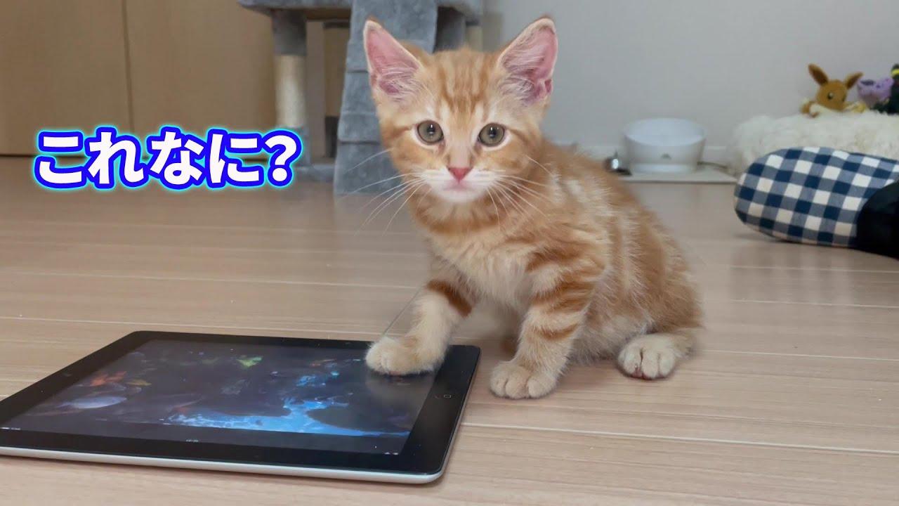 子猫に魚の映像を見せたらこうなりました