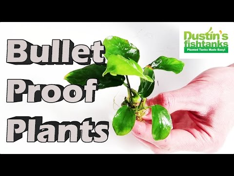 Planted Aquarium Plants - BULLET Proof Plants -Aquarium Plants for Beginners (HARDY AQUARIUM PLANTS)
