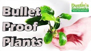 Planted Aquarium Plants - BULLET Proof Plants -Aquarium Plants for Beginners (HARDY AQUARIUM PLANTS)