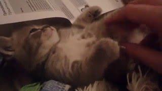Сктиш спрайт, скотиш фолд, мраморный, Вискас, КОТЯТАМ 1 МЕСЯЦ, битанский котенок