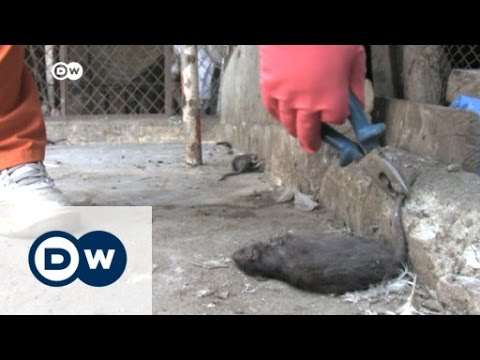 Rats plague Peshawar streets | DW News