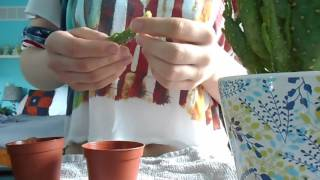 Taking and Planting Cactus Cuttings