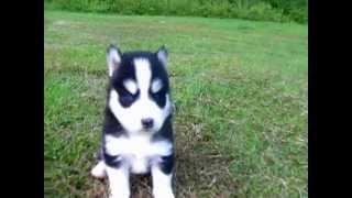 Akc Siberian Husky Puppies. Www.mysiberianhusky.org